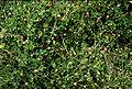 Trifoliummicrocephalum.jpg