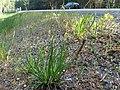 Triglochin maritimum plant (28).jpg