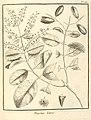 Trigonia laevis Aublet (1775) pl.150.jpg