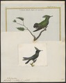 Trochilus cristatus - 1700-1880 - Print - Iconographia Zoologica - Special Collections University of Amsterdam - UBA01 IZ19100461.tif
