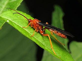 Trogus (wasp) - T. pennator
