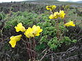 Tropaeolum hookerianum ssp hookerianum by Pato Novoa - 005.jpg
