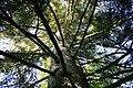 Tsuga heterophylla JPG2.jpg