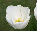 Tulipe blanche - Burnby Hall.jpg