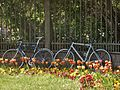 Tulips and Bicycles (27443349732).jpg