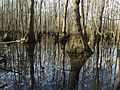 Tupelo-Cypress Swamp in River Park, North. - panoramio.jpg