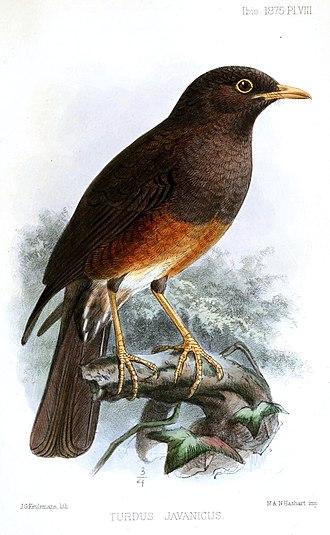Island thrush - T. p. javanicus