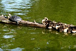 A turtle and a brood of ducklings sharing microhabitat