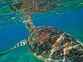 Turtles at Kuredu Maldives (4549895061).jpg