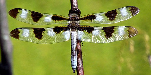 Twelve-spotted Skimmer, male