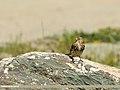 Twite (Carduelis flavirostris) (27926149036).jpg