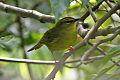 Two-banded Warbler (Myiothlypis bivittata) (8077585789).jpg
