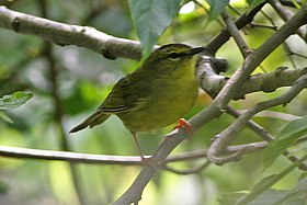 Two-banded Warbler (Myiothlypis bivittata) (8077585789).jpg