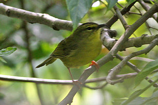 Two-banded warbler species of bird