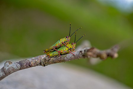Two mating grasshoppers