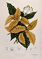 Two plants (Pisonia sylvestris and Pisonia alba ); flowering Wellcome V0042701.jpg
