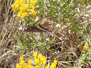 US Utah brown Praying Mantis in Antelope Island.jpg
