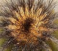 Uebelmannia pectinifera horrida 2 ies.jpg