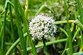 Umbel of onion flowers-Koshi Tappu Wildlife Reserve-Paschim Kasuha 02.JPG