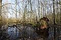 Umgefallener Baum im Everstenmoor 02.jpg