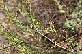Unbekannte Pflanze in Ligurien 03.jpg