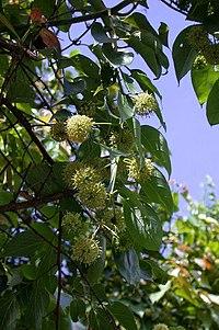 Uncaria rhynchophylla kagikzr01.jpg