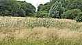Uncut Field at Trent Park for wildlife, London, N14 - geograph.org.uk - 316809.jpg