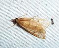 Uresiphita polygonalis - Flickr - gailhampshire (2).jpg