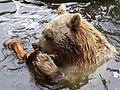 Ursus arctos syriacus im Wasser.jpg