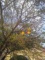 Vachellia farnesiana by Prahlad balaji 4.jpg