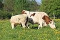 Vaches allée Pré Brus St Cyr Menthon 8.jpg