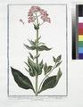 Valerianoides latifolia, flore rubro - Valeriana rubra, latifolia - Ocymastrum Valerianthos - Valeriana - Grande Valeriane (NYPL b14444147-1125047).tiff