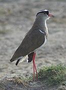 Vanellus coronatus1.jpg