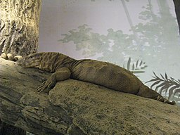 Varanus flavescens1