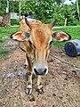 Vechur Cattle - Bos indicus cattle 2.jpg