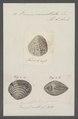 Venus cancellata - - Print - Iconographia Zoologica - Special Collections University of Amsterdam - UBAINV0274 077 12 0014.tif