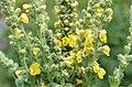 Verbascum thapsus 1893.jpg