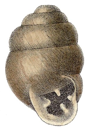Desmoulin's whorl snail - Drawing of the shell.