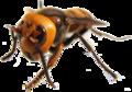 Vespa mandarinia japonica IMG 7629 transparent.png