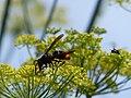 Vespa velutina nigrithorax, Josselin, France 04.jpg