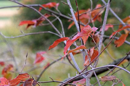 Viburnum lentago SCA-8319.jpg