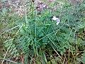 Vicia sylvatica 02.jpg