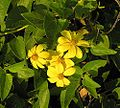 Viguiera cordifolia (27800292662).jpg