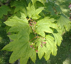 Vine Maple leaves and flowers.jpg