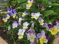 Viola arvensis subsp. megalantha 03.jpg
