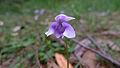 Viola hederacea flower (16117352112).jpg