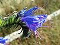Viper's Bugloss (Echium vulgare) (24095323390).jpg