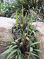 Vriesea amethystina - Kew gardens a.jpg