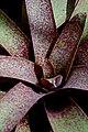 Vriesea saundersii (6225136019).jpg