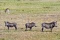 Warthogs Masai Mara Kenya (20292526239).jpg